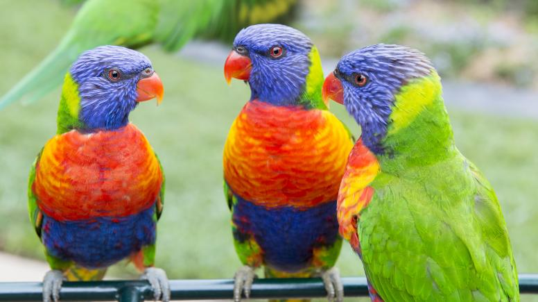 3 parrots in our main aviary